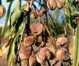 almondsintree2.jpg