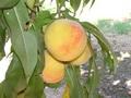 peachSummerset.jpg