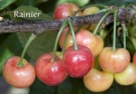 Rainier_Cherry_4e63bb75ea8a6.jpg