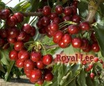 Royal_Lee_Cherry_4e63e5140018a.jpg