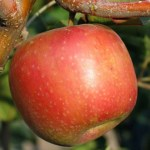 Sundowner_Apple_4e61111960eec.jpg
