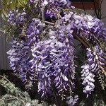 Wisteria_Cookes_Purple2.jpg