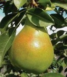 pear_moonglow1.jpg