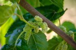 persian-white-mulberry
